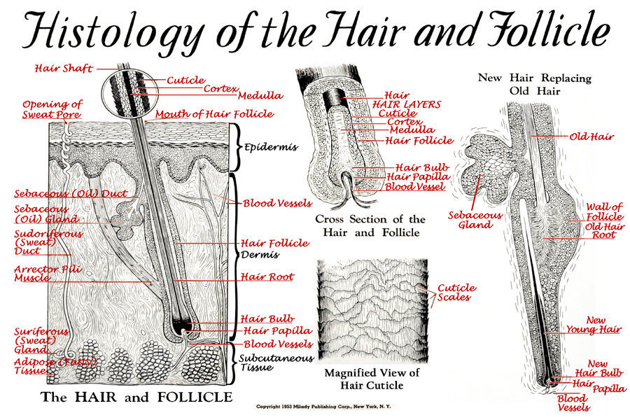 Hair & Follicle Close-Up